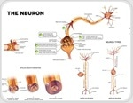 New brain cells are added in elderly adult brains too