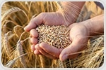 Natural antioxidant in grain bran could help preserve food longer