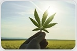 Researchers harness the pain-relieving properties of cannabis to develop new pain killers