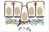 Researchers discover a mechanical cause for cell extrusion