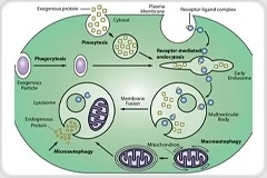 What are Endosomes?