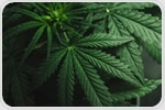 Research finds Cannabis terpenes as a promising new target for pain therapies